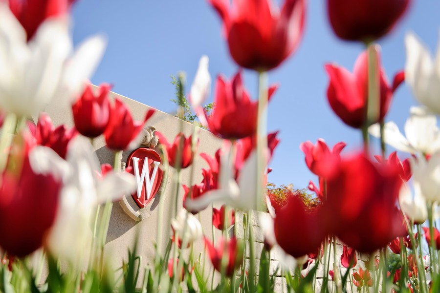 uw crest in red and white tulips