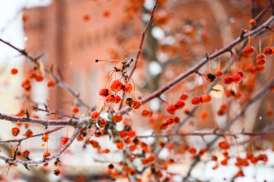 close-up of red berries in snow